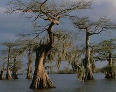 Manchac Swamp,LA:As your boat pushes out into the swamp by torchlight, ancient cypress trees and Spanish moss drape across the water. Description from sodahead.com. I searched for this on bing.com/images