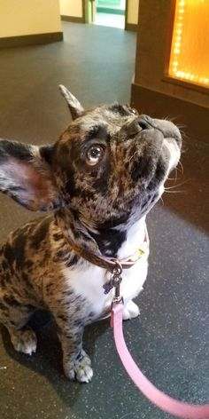d1e205132 Animal Wellness and Rehab Center - Veterinarian in Bellevue, WA US. Merle French  BulldogCute ...