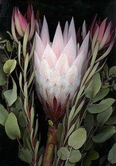 A South African Protea and Australian Native flowers captured by scanner. Australian Native Garden, Australian Native Flowers, Australian Plants, Australian Wildflowers, Exotic Flowers, Wild Flowers, Beautiful Flowers, Lilies Flowers, My Flower