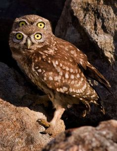 At first glance it looks like this owl has two pairs of eyes… But in fact one of his cheeky pals crept into the shot and peeped over his head – creating the Baby Animals, Funny Animals, Nocturnal Birds, Photo Animaliere, Burrowing Owl, Carnivore, Owl Photos, Beautiful Owl, Beautiful Images