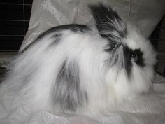 My first lion head X Angora bunny  :)