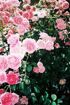 Las rosas, aroma, color, perfecta belleza, una de las flores más hermosa que existe pero, cuidado, es traicionera...