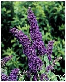 Perennials for Attracting Butterflies - Wilson Bros. Nursery