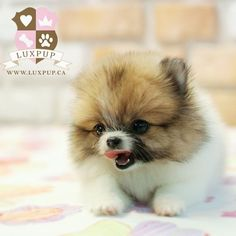Micro Teacup Puppies, I'm totally obsessed with these right now. I want one so badly!