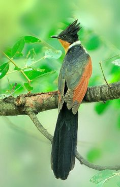 Chestnut-winged Cuckoo (Clamator coromandus). Found in southern Asia. photo: Somchai Kanchanasut.