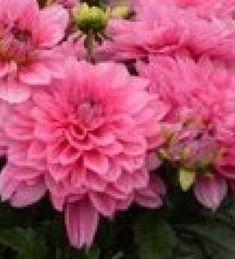 Daalia 'Maxi Mendoza' Mendoza, Cancun, Dahlia, Plants, Garden Planning, Plant, Dahlias, Planets
