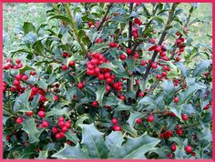 Holly tree, Ogham symbol of Tinne, represents Action