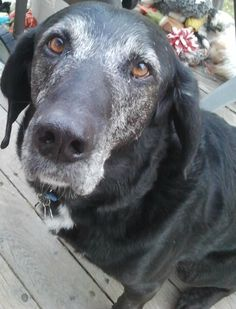 Dogster Shelter Dog Wednesday: Houndy Waited 10 Long Years But Finally Went Home Animals And Pets, Cute Animals, Black Labrador, Black Labs, Raining Cats And Dogs, Dog Rules, Tier Fotos, Old Dogs, Dog Photography