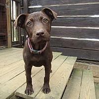 Hagerstown, Maryland - Labrador Retriever. Meet Sally in TN, a for adoption. https://www.adoptapet.com/pet/21447840-hagerstown-maryland-labrador-retriever-mix