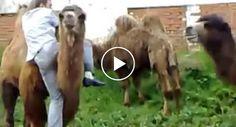 Homem Percebe Que Escolheu o Camelo Errado Para Fazer Passeio http://www.desconcertante.com/homem-percebe-que-escolheu-o-camelo-errado-para-fazer-passeio/