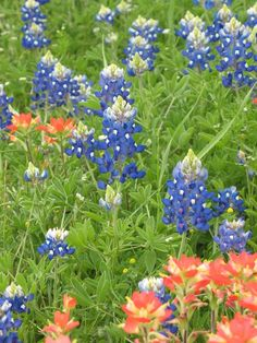 Bluebonnet's, photo by Mary P. Brown