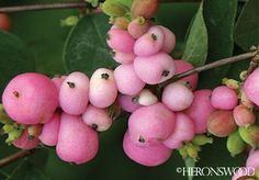 Pink snowberry - part to full sun, 5'x5'