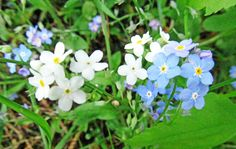 TRUE FORGET-ME-NOT: (Myosotis scorpioides). Photographed May 22, 2016 at Sahli Nature Park in Chippewa Twp., Beaver County, PA.
