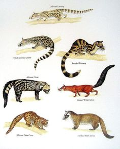 African Linsang, African Civet, Banded Linsang, African Palm Civet – Vintage 1984 Fish Book Plate Source by Especie Animal, Animal Facts, Rare Animals, Animals And Pets, Strange Animals, Primates, Mammals, Animal Species, Endangered Species
