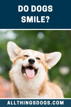 Do dogs smile at their dog-parents? Is it the same as a dog kiss? Or is it a myth? So we decided to find out. Read on to know what we learnt. Do Dogs Smile, Smiling Dogs, Dog Kiss, Dog Emotions, Corgi Mix Breeds, Smartest Dog Breeds, Dog Body Language, Living With Dogs, War Dogs