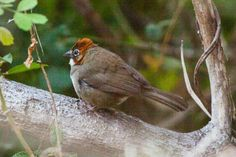Rusty-crowned Ground-Sparrow (Melozone kieneri)