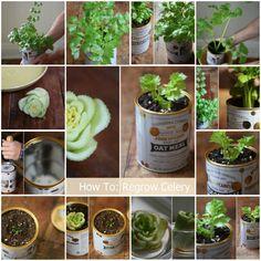 Growing Celery Indoors: Never Buy Celery Again