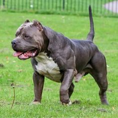 Check what new we have in store Love pitbulls Xl Pitbull, American Pitbull, American Bully Pocket, American Bullies, Amstaff Terrier, Pitbull Terrier, Big Dogs, Dogs And Puppies, Rottweiler Training