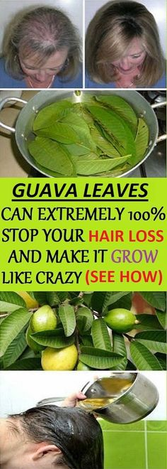 Remedies For Thicker Hair Hair – Guava leaves are a great remedy for hair loss. They contain vitamin B complex (pyridoxine, riboflavin, thiamine, pantothenic acid, folate and niacin) which stops the hair fall and promotes hair growth. Guava Benefits, Health Benefits, Natural Hair Care, Natural Hair Styles, Natural Shampoo, Guava Leaves, Stop Hair Loss, Hair Loss Remedies, Tips Belleza