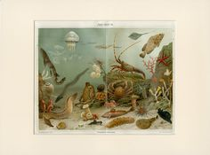 Items similar to Antique Sea Life Print - Nautical Wall Art - Antique Lithograph - Lobster, Jellyfish, Starfish, Under the Sea - Matted on Etsy Life Under The Sea, Nautical Wall Art, Vintage Art Prints, Black And White Frames, Marine Life, Sea Creatures, Wall Collage, Vintage World Maps, Poster