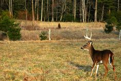 Beautiful white tailed buck in the fields of Cades Cove