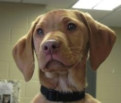Quazi is an #adoptable #Vizsla Dog in #MasonCity, #IOWA. Lost and totally confused in the 2000 block of South Madison, my buddy, Zippo, and I had absolutely no problem when Animal Control showed up to for ...