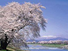 白石川堤一目千本桜  東北・夢の桜街道 厳選お花見スポット