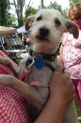 Casper is an adoptable West Highland White Terrier Westie Dog in Eighty Four, PA. Casper is 4/5�year old male white western terrier poodle mix.He is scheduled��to be�neutered �and up to date on shots....