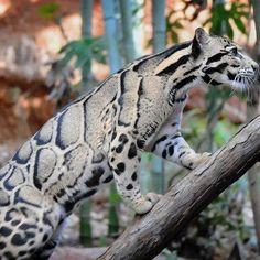 Clouded Leopard / Neofelis nebulosa