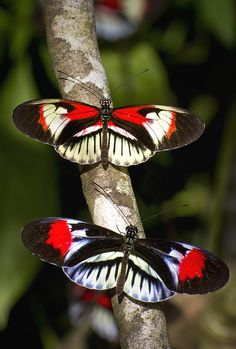 Piano Key Butterflies 15 Beautiful Butterfly Photos Added to Gallery and Here's a Sample Papillon Butterfly, Butterfly Kisses, Butterfly Flowers, Vintage Butterfly, Beautiful Bugs, Beautiful Butterflies, Beautiful Creatures, Animals Beautiful, Moth Caterpillar
