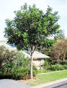 Tuckeroo Tree or Carrotwood tree. Australian native.
