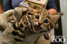 世界最小の猫『クロアシネコ』が愛らしくて癒される (12枚) ペットフィルム -犬・猫・ペットの画像・動画まとめ petfilm.biz