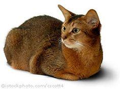 Abysinnian cat. Just like my cat Devo!   Ḡ☮Ḏṧ  ℃ℝℰ@†Üℝℰṧ