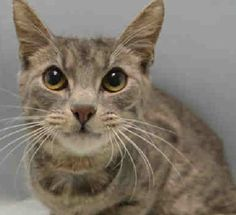 BARNACLE - A1076349 - - Brooklyn  Please Share:   ***TO BE DESTROYED 06/21/16***BEGINNER CAT RATED. Barnacle is 10 month old gray domestic tabby found as a stray in Brooklyn. Upon intake at the ACC, he scored high marks for his sweet behavior of offering head butts and just being mellow. Pretty good for a cat just getting out of the kitten phase! He would fit into any home because of his demeanor! Like a barnacle is to a ship, make this little Tabby named Barnacle a part of