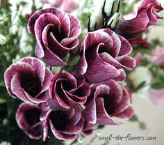 Gorgeous maroon/purple flowers.  Striped lisianthus.