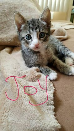 Meet Joy, an adoptable Tabby - Grey looking for a forever home. If you're looking for a new pet to adopt or want information on how to get involved with adoptable pets, Petfinder.com is a great resource.