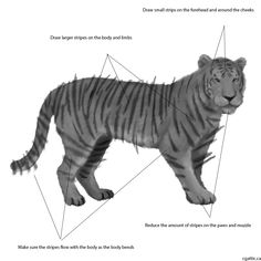 Tiger drawings step 3: select a small brush to detail the fur. Switch to the smudge brush to smudge sections of fur. Stripes can be done on a separate latyer. Verticle stripes are on the body while horizontal stripes are found on the limbs.