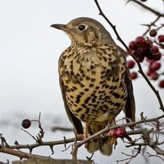 Mistle Thrush 21.1.13 at a very snowy Holme Brook Valley - singing a warning song and minutes later a peregrine falcon appears.  Cannot believe it has taken us this long to see a Thrush once one of the most common garden birds in the UK still waiting to see a song thrush.
