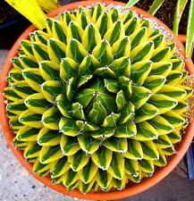 1 PLANT Agave victoriae-reginae variegate 4.5 inches NO gasteria haworthia aloe