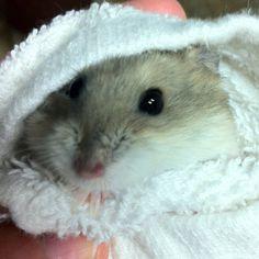 Captain Hook! Fancy Russian Dwarf Hamster <3