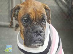 SYDNEY (A1125773) I am a female brown and white Boxer. The shelter staff think I am about 8 years old. I was found as a stray and I may be available for adoption on 02/09/2016. — Miami Dade County Animal Services. https://www.facebook.com/urgentdogsofmiami/photos/pb.191859757515102.-2207520000.1455072094./1127445100623225/?type=3&theater
