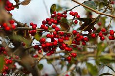 Texas Parks and Wildlife shared Randy Woodruff's photo.  A winter treat for wildlife, Deciduous holly adds a bit of cheer to Meridian State Park north of Waco. But don't eat the berries - they're toxic to humans