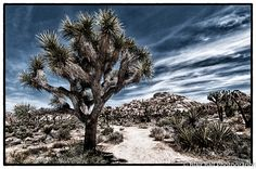 Photograph of a Joshua Tree taken in Joshua Tree National Park in California.