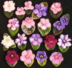 African violets, or Saintpaulia, are a group of African flowering plants unrelated to violets. They're loved by collectors, generalists, and people who just like something pretty. They're incredibly easy to propagate - the crown will split naturally into multiple plants, or putting the leaves in water will grow new roots. They come in all different colours, shapes, sizes, and habits, from big single plants, to tiny miniature trailing plants. Take a closer look next time you see one in the…