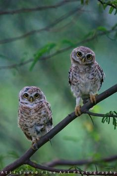 Photo curious.. owls by Atif Saeed on 500px