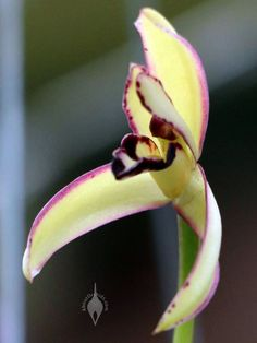 Maxillaria marginata, orchid species flower, Orchids in the Park 2017, Golden Gate Park, San Francisco, California