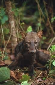 short eared dog - rare  (Amazon )