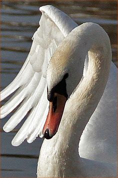 A day at the waterside Swan Love, Beautiful Swan, Beautiful Birds, Animals Beautiful, Cute Animals, Swan Pictures, Bird Pictures, Cygnus Olor, Swan Painting