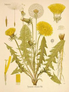 All about dandelions -
