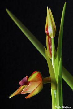 Eria carinata